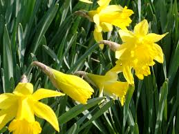 free stock photo of yellow daffodils at the garden photoeverywhere