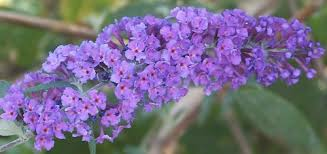 butterfly flower buddleia davidii twilight butterfly bush