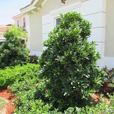 japanese blueberry tree for sale fast growing trees