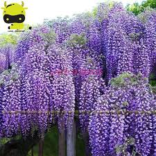 14 types japanese wisteria flower tree seed 10 seeds pack