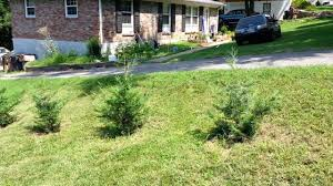 my murray cypress and leyland cypress trees youtube