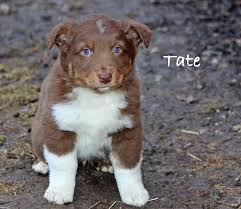 australian shepherd indiana red tri male australian shepherd for sale the pulse