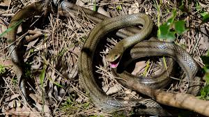 california cops found dozens of snakes and gators in a suburban