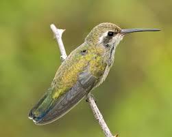 broad billed hummingbird audubon field guide