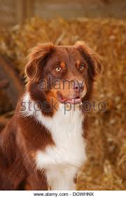 australian shepherd male names australian shepherd male dog red tri stock photos u0026 australian