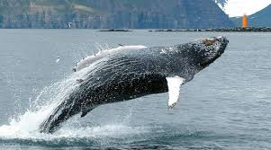 whale watching and sea angling in iceland klook