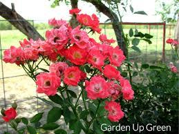 drift roses beautiful coral drift roses garden up green