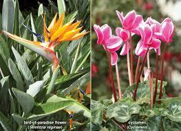 Flower And Bird - bird of paradise flower britannica com