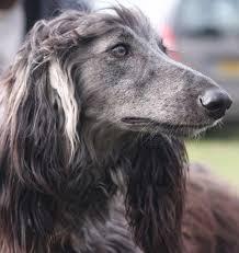 afghan hound collars uk afghan hound facts and information viovet