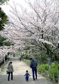 in bloom 2015 cherry blossom festivals pacific travel stripes