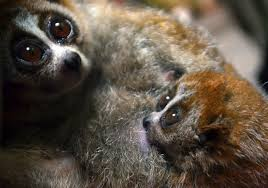 Until One Has Loved An Animal Quote by The Upsetting Truth Behind U0027cute U0027 Slow Loris Videos Huffpost