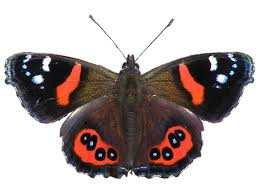 plants native to new zealand new zealand red admiral wikipedia