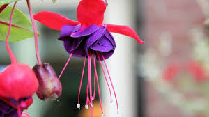 winter gardening tips for fuchsia plants fuchsia gardening tips