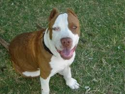 american pitbull terrier 7 months pit bull photos american pit bull terrier pics pictures