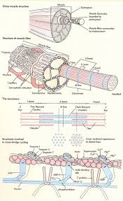 muscle structure diagram human muscle structure anatomy organ