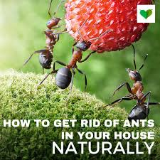 How To Kill Ants In The Kitchen by How To Get Rid Of Ants In The House Naturally And Easy