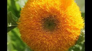 teddy sunflowers one minute in the garden teddy sunflowers