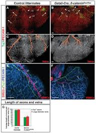 coronary veins determine the pattern of sympathetic innervation in