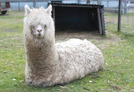 Alpaca Sheep Meme - sitting alpaca by digimaree on deviantart