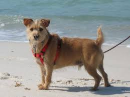 australian shepherd yorkie mix for sale dog breeds that live the longest business insider