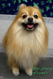 summer haircut pomeranian pet grooming the good the bad the furry grooming pomeranians