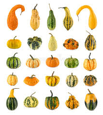 twenty five different ornamental pumpkins stock photo image of