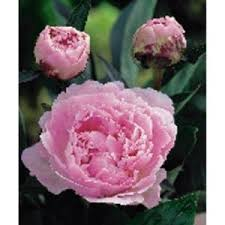 Home Depot Flower Projects - 27 best sarah bernhardt images on pinterest flowers pink