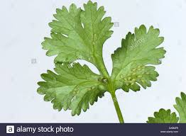 Kitchen Herb by Glasshouse Potato Aphids Aulacorthum Solani Infestation On