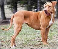 american pitbull terrier in india american pit bull terrier dog breed facts hill u0027s pet