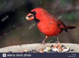 cardinal bird stock photos u0026 cardinal bird stock images alamy