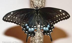 eastern black swallowtail papilio polyxenes asterius