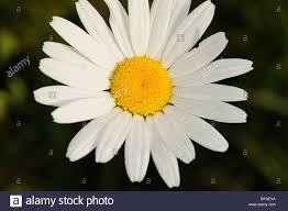 marguerite oxeye daisy moon daisy stock photos u0026 marguerite oxeye