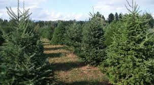 copenhaver plantations choose and cut trees in