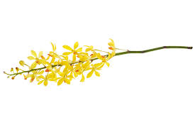 Yellow Orchid Yellow Orchid Bunch Photograph By Atiketta Sangasaeng