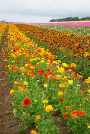 carlsbad flower garden how the carlsbad flower fields became one of the most beautiful