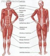 Internal Dog Anatomy Internal Organs Diagram Left Side Human Anatomy Chart