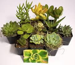 Amazon Succulents Amazon Com Fat Plants San Diego Succulent Plants 8 Patio