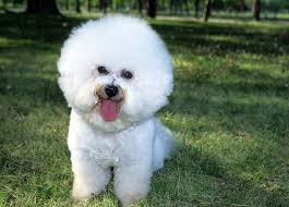 bichon frise names male bichon frise dog breed information