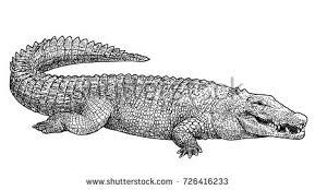 crocodile illustration drawing engraving ink line stock vector