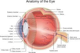 Anatomy Of The Eye Anatomy Of The Eye Lasiksurgeons Com