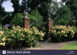 Beauty Garden by Private Garden Sussex Rose Beds Of Rosa Buff Beauty Along Walled