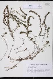 fort pond native plants hydrilla verticillata species page isb atlas of florida plants