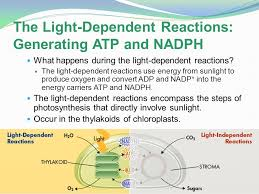What Happens During The Light Reactions Of Photosynthesis During The Light Dependent Reactions In Photosynthesis Energy Is