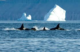 killer whales are the sea wolves of arctic alaska dispatch news