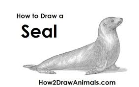 how to draw a seal sea lion