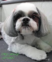 shih tzu haircuts pet grooming the good the bad the furry scissoring a shih tzu head