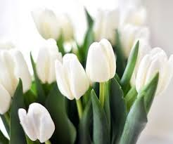 white tulips 172 images about white tulips on we heart it see more about