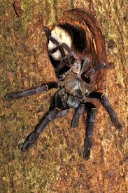 spirit halloween jumping spider 442 best tarantulas and other arachnids images on pinterest