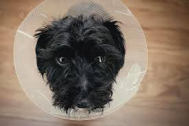 affenpinscher swimming dog spay meaning of ovariohysterectomy