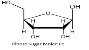 Table Sugar Formula What Is Ribose Structure Overview U0026 Lesson Transcript